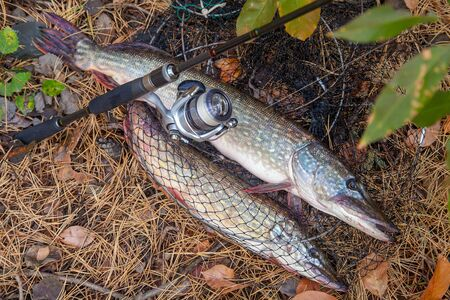 Fishing concept, trophy catch - big freshwater pike fish know as Esox Lucius just taken from the water on keep net with fishery catch in it. Freshwater Northern pikes fish know as Esox Lucius and fishing equipment on yellow leaves at autumn time.