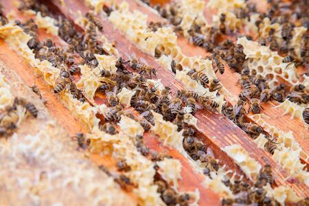Close up view of the opened beehive body showing the frames populated by honey bees.