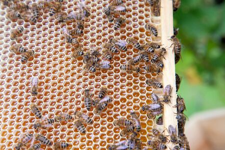 Close up view of the working bees on the honeycomb with sweet honey. Yellow honeycomb just taken from beehive with sweet honey. Bee honey collected in the beautiful yellow honeycomb. Stock fotó