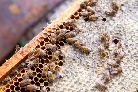 Close up view of the working bees on the honeycomb with sweet honey. Yellow honeycomb just taken from beehive with sweet honey. Bee honey collected in the beautiful yellow honeycomb. Imagens - 140722601