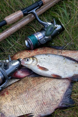 Fishing concept. Freshwater fish and fishing rods with reels on green grass. Single freshwater white bream or silver bream on common breams known as bronze breams or carp bream (Abramis brama) on green grass.