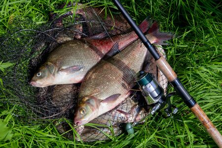 Good catch. Just taken from the water big freshwater common bream known as bronze bream or carp bream (Abramis brama) and fishing rod with reel on natural background. Natural composition of fish and fishing rod with reel on green grass.