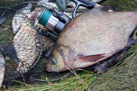 Good catch. Close up view of just taken from the water big freshwater common breams known as bronze bream or carp bream (Abramis brama) and fishing rod with reel on keepnet with fishery catch in it.