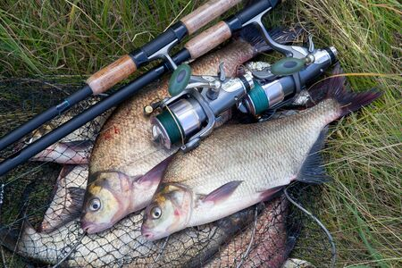 Good catch. Close up view of just taken from the water freshwater common bream known as bronze bream or carp bream (Abramis brama) and fishing rod with reel on keepnet with fishery catch in it.