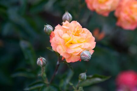Bunches of pink and orange blossoming roses in the garden. Beautiful pink and orange small roses bush growing on flower bed at sunny summer day.