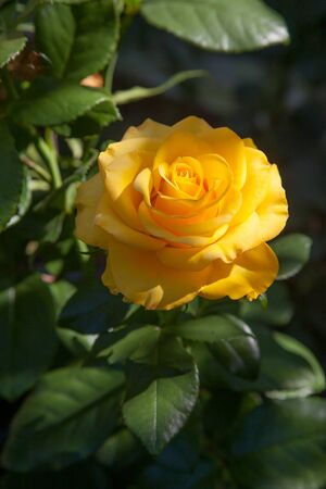 A yellow blossoming roses in the garden. Beautiful yellow rose bush growing on flower bed at sunny summer day.