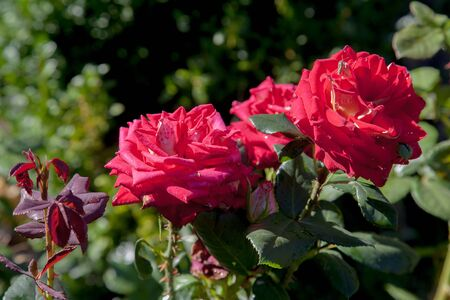 A red blossoming roses in the garden. Beautiful red rose bush growing on flower bed at sunny summer day.