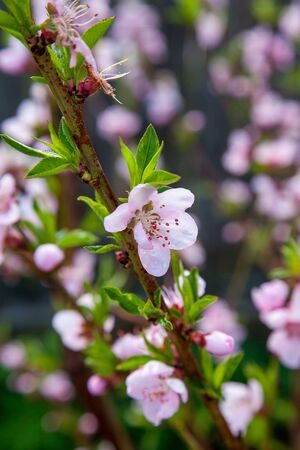 Fruit orchard at spring time with blossoming peach trees. Close up view of branch with small green leaves and pink flowers of peach tree in garden.