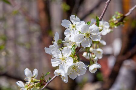 Fruit orchard at spring time with blossoming cherry trees. Close up view of branch with small green leaves and white flowers of cherry tree in garden.