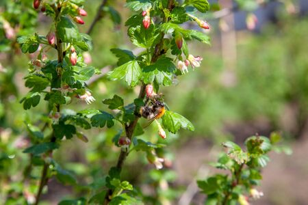 Orchard at spring time. Close up view of bumblebee on gooseberry bush flower collecting pollen and nectar. Green leaves and small pink flowers of gooseberry bush in garden. Stock Photo