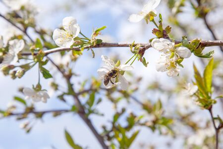 Orchard at spring time. Close up view of honeybee on white flower of cherry tree blossoms collecting pollen and nectar to make sweet honey. Small green leaves and white flowers of cherry tree blossoms at spring day in garden.
