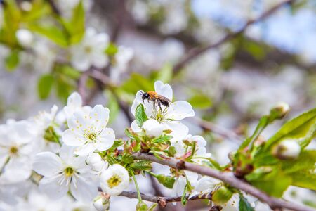 Orchard at spring time. Close up view of honeybee on white flower of apple tree collecting pollen and nectar to make sweet honey. Small green leaves and white flowers of apple tree in garden.