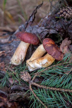 Close up view of several boletus badius, imleria badia or bay bolete on old wooden hemp with cones and needles in an autumn pine forest. Edible and pored fungus has velvety dark brown or chestnut color cap. Stock Photo