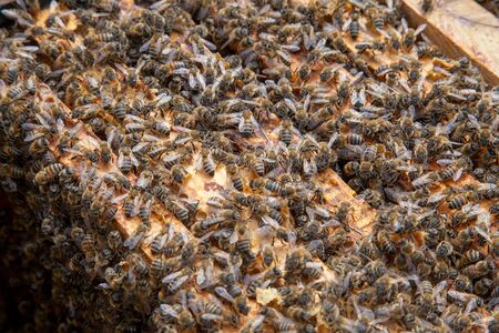 Frames of a beehive. Close up view of the opened hive body showing the frames populated by honey bees.