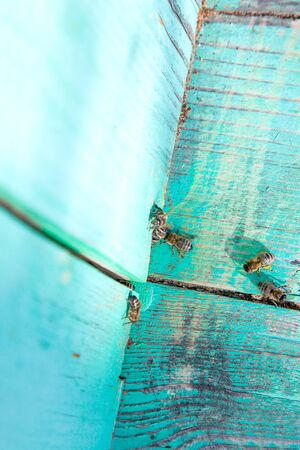 Frames of a beehive. Plenty of bees at the entrance of old beehive in apiary. Busy bees, close up view of the working bees on textured old plank. Stock Photo
