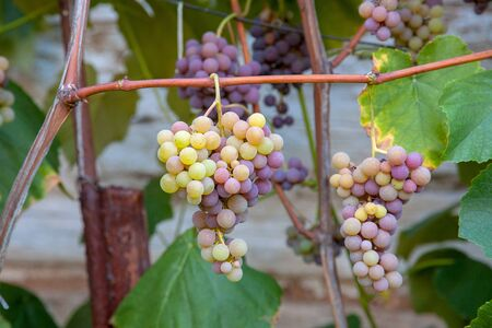 Bunch of grapes with pink and green berries hanging on grapes bush in a vineyard. Close up view of bunch grapes hanging in garden after rain