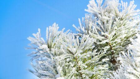 Winter snowy pine tree christmas scene. Fir branches covered with frost wonderland. Blue background.