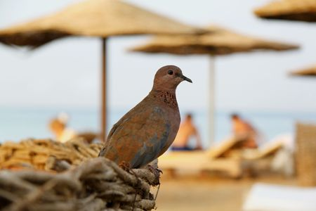 Small Egyptian turtledove Stock Photo