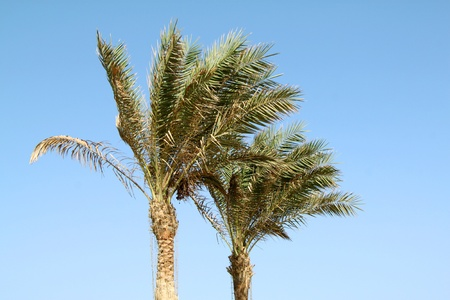 tree palm