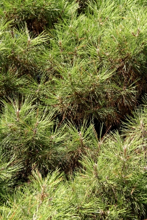 The texture of the needles of pine tree Stock Photo - 20370620