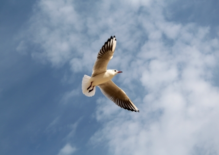 Seagull flying in the sky on a background of clouds