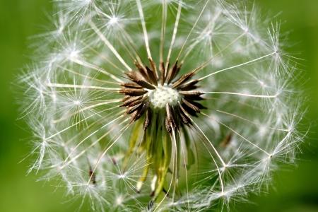 White spring dandelion flower Stock Photo - 20370565