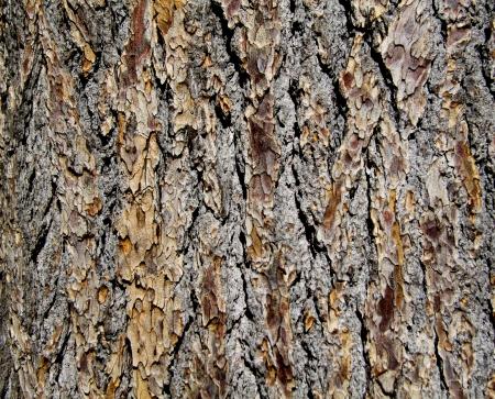 The texture of tree bark Stock Photo - 20370635