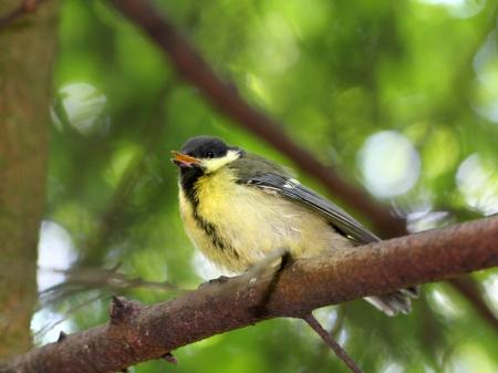 titmouse: Fledgling birds titmouse Stock Photo