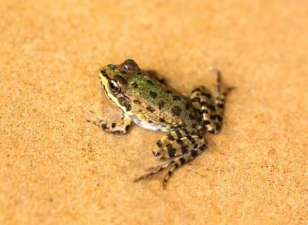 bufo bufo: big green frog sit on wet sand