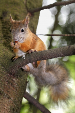 Squirrel sits on a tree branch and eating a nut