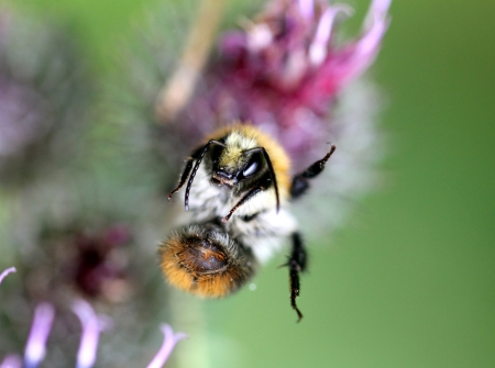 A bumblebee on a  flower photo