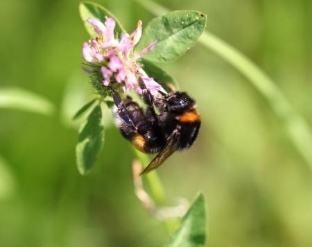 bumblebees on thistle macro crop photo