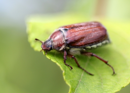 may beetle sitting on a twig with fresh leaves in grey back Stock Photo