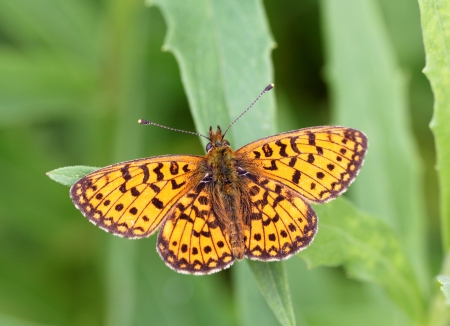 vector butterfly of orange color photo