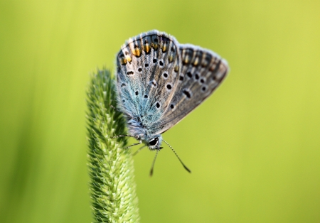 polyommatus icarus: Common Blue butterfly - polyommatus icarus