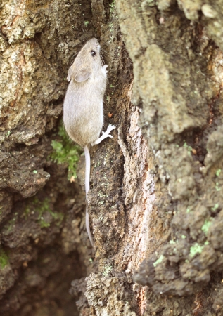 Gray wood mouse on a tree in the forest