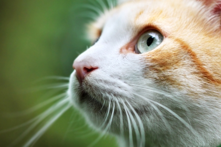 Portrait of beautiful red-haired white cat photo
