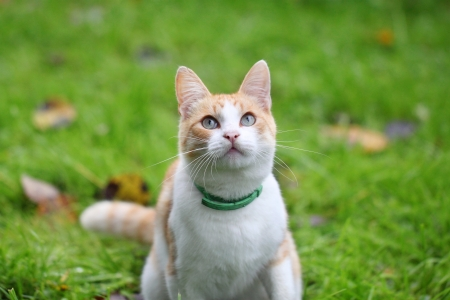 Beautiful white - cat playing in the green grass photo