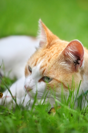 Beautiful white - red cat dreams of green grass Stock Photo