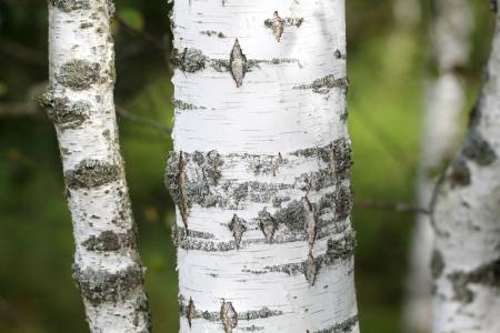 birch bark: Black and white trunk of a birch tree