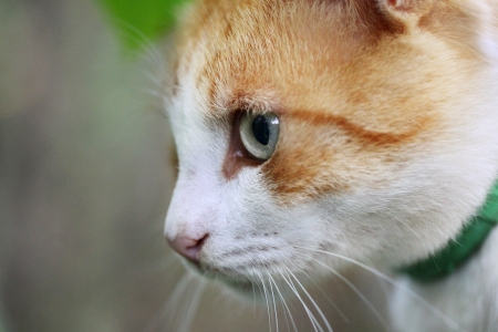 Portrait of beautiful red-haired white cat Stock Photo