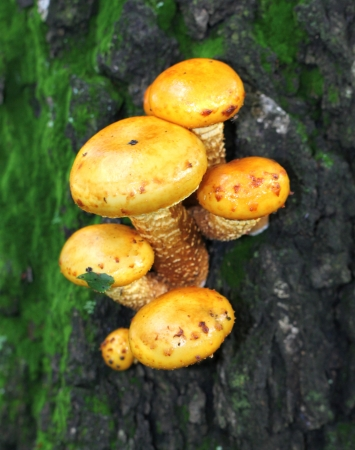 Yellow toadstool mushrooms on a tree photo