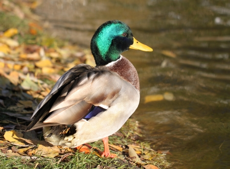 The male duck drake Stock Photo - 23244243