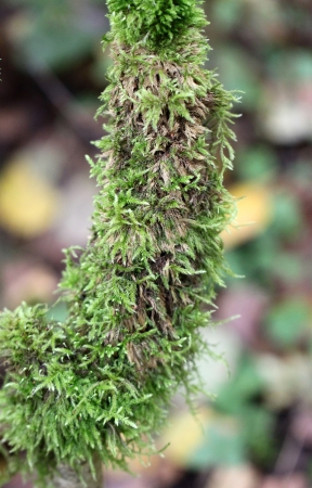 Branch covered with green moss photo