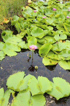 water lily in the pond on the island of Koh Samui in Thailand