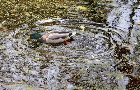 duck swims in the pond among the autumn leaves photo