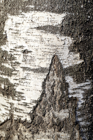 Birch wood texture is photographed close up photo