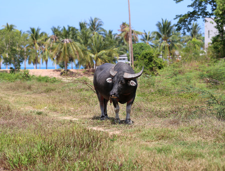 samui: Black buffalo grazing in a field in Thailand on Koh Samui