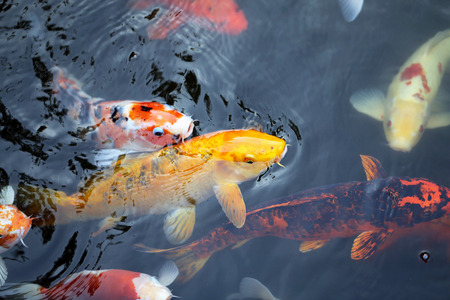 colorful fish carp in a pond in Thailand