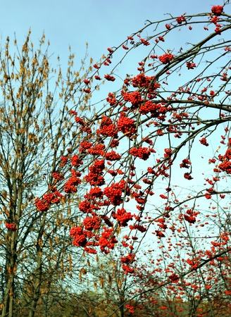 Large red rowan berries photographed close up photo